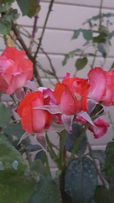 Yenni Ranch  Heirloom Roses