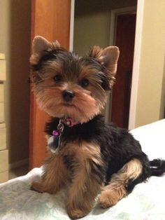 Yorkie Haircut Dogs Pinterest Yorkie Dogs And Puppies