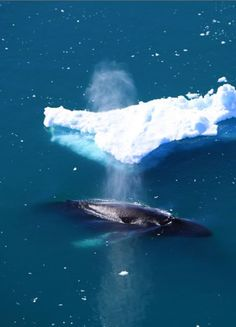 Aerial - Humpback whale exhausting next to an iceberg in Greenland - 2012 - Anne Mette Christiansen photography - - https://www.flickr.com/photos/ilovegreenland/ - - http://www.greenland.com/en/things-to-do/