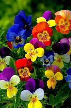 Flowers Nature, Exotic Flowers, Amazing Flowers, Pretty Flowers, Colorful Flowers, Spring Flowers, Purple Flowers, Fleur Pansy, Bloom
