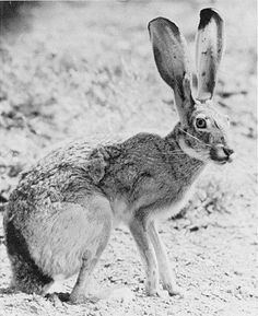 Black-tailed Jackrabbit (Lepus californicus). Photo courtesy of Texas Parks and Wildlife