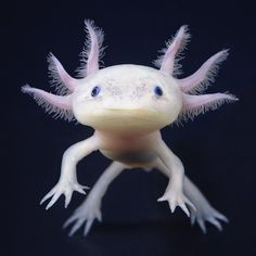 Salamanderen Axolotl is one of the few animals that do not change much through life, it retains its youthful appearance lifetime.  Photo: Tim Flach