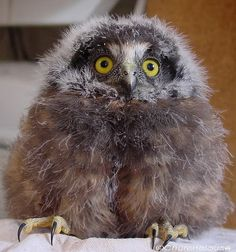 """thedogspaws: """"Beautiful New Zealand - Fact number The Morepork Owl is the only remaining native owl species found in New Zealand apart from the Barn Owl, which has only very recently colonised. Baby Owls, Baby Animals, Cute Animals, Beautiful Owl, Animals Beautiful, New Zealand Wildlife, Owl Species, Kiwiana, Birds Of Prey"""
