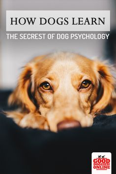 Dog training will be easier if you understand how your dog thinks. If your dog doesn't listen, check out this article on dog psychology that will help train any dog. #dogs #dogtraining #psychology