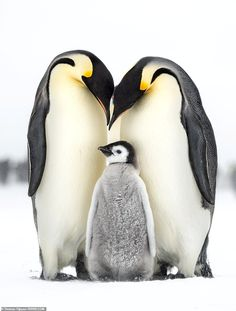Photographer Thomas Vijayan beat off thousands of entries from all over the globe to land the top prize with his snap of an emperor penguin family huddled together in Antarctica Penguin Tattoo, Penguin Art, Penguin Love, Penguin Pictures, Photography Contests, Photography Awards, Baby Penguins, Cute Little Animals, Animal Photography