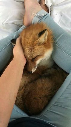 I need a pet fox in my life