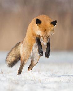 Maxime Riendeau ~ Jumping / Renard roux / Red fox • https://500px.com/photo/67414281/jumping-by-maxime-riendeau
