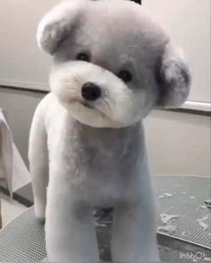 Best Dog Grooming Styles From Dog take action Experts. ** More details could be found at the image url. Teddy Bear Poodle, Teddy Bear Puppies, Fluffy Puppies, Cute Dogs And Puppies, Baby Dogs, Doggies, Bear Dog Breed, Teacup Puppies, Small Puppies