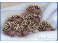 Baby hedgehogs at Tiggywinkles Wildlife Hospital