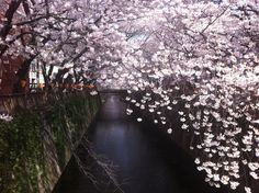 Another great shot from the Meguro River. The sun came out at the right time to stream through the branches giving the photo an awesome effect! Taken early April 2012 Right Time, Great Shots, Branches, Cherry Blossom, Tokyo, Real Estate, Japan, River, Sun