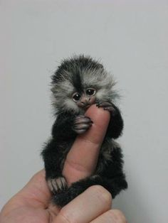 Cute animals monkey & cute animals baby, cute animals with funny captions, cute animals puppies, cute animals wild, cute ani Cute Animals With Funny Captions, Cute Animals Puppies, Cute Animal Memes, Cute Animal Videos, Cute Little Animals, Adorable Animals, Cute Baby Monkey, Pet Monkey, Finger Monkey Baby