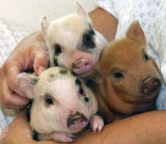 One Two Three Little Piglets!What's sweeter than baby pigs? Mini Juliana pigs are usually spotted and come in a variety of colors. Baby Pigs, Pet Pigs, Mundo Animal, My Animal, Cute Baby Animals, Funny Animals, Farm Animals, Juliana Pigs, Teacup Pigs