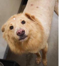 Pin By Maggie Scheie Lurie On Dogs To Adopt Labrador Retriever