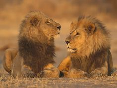 Two lion in love