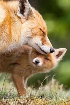 Look at the love here.  The beautiful red fox has bushy tail and dog-like face. There are 48 sub-species of fox including color variations termed silver or cross fox.