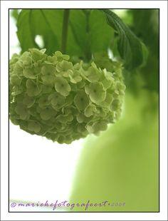 I <3 spring green hydrangeas ~  #contest #heritagecollection