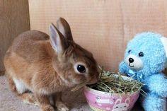 Ichigo san 468 いちごさんうさぎ rabbit bunny netherland dwarf brown cute pet family ichigo ネザーランドドワーフ ペット いちご うさぎ