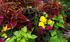 This beautiful combination includes Coleus, Tuberous Begonias, and Sweet Potato Vine