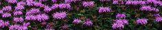 Monarda menthifolia 50-70, vi-vii