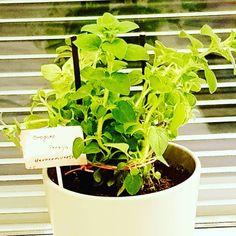 Chcete sa pustiť do pestovania byliniek, no neviete ako začať? Dokonca aj keď nemáte záhradu, existuje veľa bylín, ktoré môžete pestovať v interiéri. Herbs, Plants, Instagram, Herb, Planters, Plant, Spice, Planting
