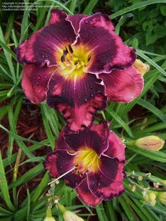 Full size picture of Daylily 'The Band Played On' (Hemerocallis)
