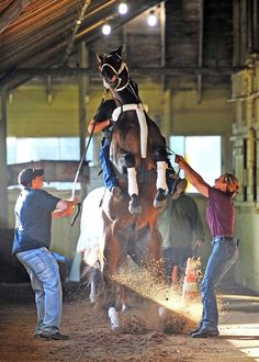 RIDEONCURLIN pulls his Hi Ho Curlin in the shedrow at Belmont....