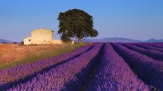Check out this beautiful photo of the vast lavender fields in Provence in the south of France. Experience the magic of photographing Lavender in Provence. Aix En Provence, La Provence France, Lavender Fields France, Provence Lavender, Lavender Roses, Lavender Scent, Rose Flowers, Moustiers Sainte Marie, Day Trip From Paris
