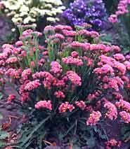 Statice /like for arrangements /have seeds