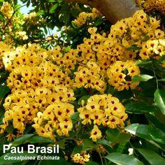 Esta é a flor do Pau-Brasil, nossa árvore símbolo.
