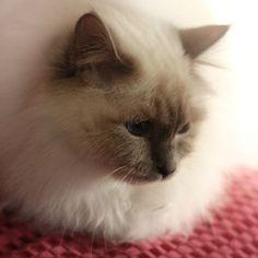 ♥♥♥ this looks like my cat -Sassy.