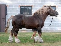 Sokólski horse