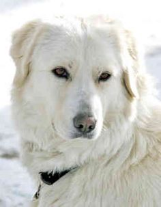 They are not a Mastiff! They're a Livestock Guardian Dog breed. Horses And Dogs, Animals And Pets, Sheep Dogs, Cute Dogs Breeds, Dog Breeds, Maremma Sheepdog, Dog Heaven, Dog Varieties, Different Dogs