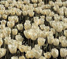 Pink perennial tulip white flower farm flower farm and tulip mightylinksfo Images