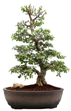 Dwarf Jade (Specimen) Bonsai Tree - Miami Tropical Bonsai