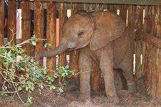 Orphan: ARRUBA baby elephant. Please foster this baby. The David Sheldrick Wildlife Trust. *~❤•❦•:*´`*:•❦•❤~* http://www.sheldrickwildlifetrust.org/asp/orphans.asp