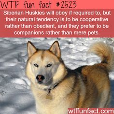 @Taylor Millen this surprises me 0% Siberian Huskies - WTF fun facts