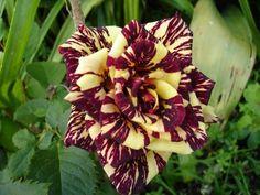Roses #flowers learn how 2 #grow #rose http://www.growplants.org/growing/hybrid-tea-rose Buy Rosa Abracadabra Hybrid Tea Rose