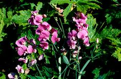 Ha! I recognise you,broad-leaved everlasting pea!