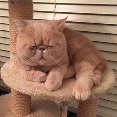 🧡 GARFIELD EXISTE Y HAY DE MUCHOS COLORES: . ¿Cuál es la raza del gato Garfield? . Se inspiró en un gato exótico nativos de América, raza… Cute Cats And Kittens, Cool Cats, Kittens Cutest, I Love Cats, Cute Funny Animals, Cute Baby Animals, Animals And Pets, Funny Cats, Gato Garfield