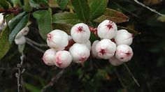 Snowberries and other native Aussie food Australian Native Garden, Australian Native Flowers, Australian Plants, Australian Food, Aussie Food, Bush Garden, Veg Garden, Garden Plants, Edible Plants