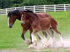 Clydesdale mom and baby Animals Animals Big Horses, All About Horses, White Horses, Pretty Horses, Horse Love, Beautiful Horses, Animals Beautiful, Work Horses, Clydesdale Horses