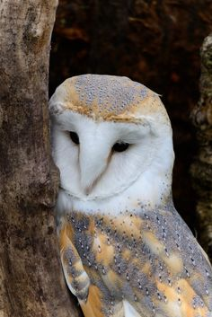 A barn owl can eat up to 1,000 mice each year, and many farmers try to attract barn owls to help control rodent populations in agricultural fields.