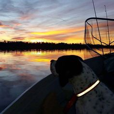 It's all about those golden moments!  www.northof60.no facebook.com/northof60.no  #fishing #fishingguide #flyfishing #flyfishingnorway #pointer #adventure #englishpointer #Hedmark #troutfishing #DreamChasersNorway #visitnorway #visithedmark #hedmark #sunset #summernight #wilderness #mittnorge #villmarksliv #visitinnlandet #peace #northof60 #northof60_no #northof60no #norway #norge #nordicway #ilovenorway #utno #nofilter