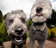 Sofi (on the left) and Yogi, both Pumi dogs, sure seem happy to see each other after Sofi's return from the pet hospital. She passed away from acute leukemia a few days after this photo was taken. We'll never forget that face and life just won't be t Rare dog breeds...more information on rare dogs...  http://doggytidbits.blogspot.com