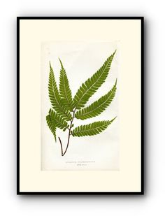 Edward Joseph Lowe Fern (Adiantum Pulverulentum) Antique Botanical Print, 1857 1st edition. Wood Block Engraving, Book Plate by TheOldMapShop on Etsy