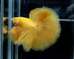 Siamese fighter fish ♥