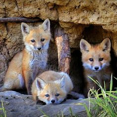 """Earth Pics on Instagram: """"Fox cubs ⠀⠀⠀ ⠀ ⠀⠀⠀ ⠀ Follow @wildgeography for more awesome wildlife pics ⠀⠀⠀ ⠀ #EarthPics by Reg Faulkner"""""""