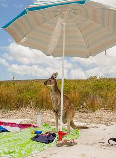 Life's most definitely a beach for this kangaroo in Lucky Bay, Australia, who is taking advantage of an unguarded parasol and towel