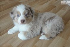 I am a cute Australian Shepherd puppy, looking for a home on NextDayPets.com!