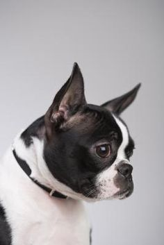 Boston terriers are sturdy and smallish canines who count both English white terriers and bulldogs as their ancestors. English white terriers, however, no longer exist as a breed. Boston terrier breed history began, as their name conveys, in Boston, Massachusetts, in the latter portion of the 19th century.